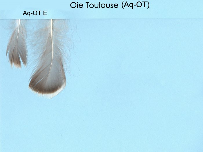 Aquatique Oie Toulouse (Aq-OT)